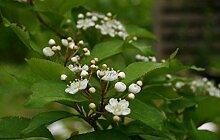 Glanzmispel Photinia villosa Pflanze 70-80cm