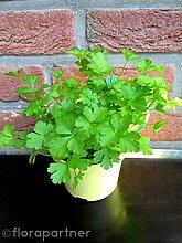 Glatte Petersilie Petroselium crispum var.neapolit Kräuter Pflanze 3stk