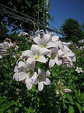 Glockenblume Loddon Anne Staude rosa blühend Steingartenstaude winterhart Campanula lactiflora im 3 Liter Topf 1 Pflanze