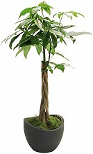Glückskastanie (Pachira) 60-80cm hoch, 1 Pflanze + Topf Wave Globe, 30cm, schwarz-grani
