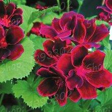 Go Garden 100 Einheiten/bag Bonsai Pelargonieblume