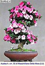 Go Garden 100 Stück/Beutel 24 Arten Japan Azalee