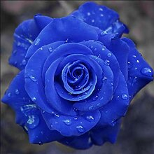 Go Garden 1000 PC Rare Holland Blaue Rosen-Blumen