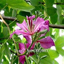 Go Garden 100pcs / bag Banyanbaumes Ficus Ginseng