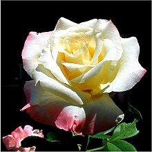 Go Garden 100pcs / bagColorful Rose Bonsais
