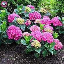Go Garden 10pcs / bag Bonsai Regenbogen Hortensie,