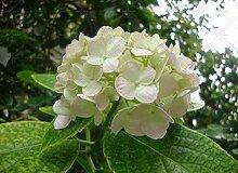 Go Garden 10pcs / bag Farbige Hortensie Pflanze,