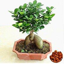 Go Garden 20 PC-Seed Banyan Tree Bonsai Ficus