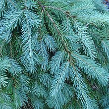 Go Garden 20 Samen: Blau Douglasie, Pseudotsuga