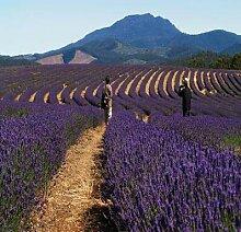 Go Garden 200pcs / lot Lavendel English (Lavandula