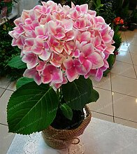 Go Garden 20pcs Hydrangea paniculata & # 39;