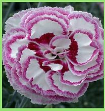 Go Garden 24 verschiedene Farben von Dianthus