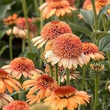 Go Garden 25Types Mix Echinacea Außen Blume
