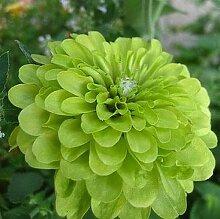 Go Garden 50 Samen jeder Packung Schöne Green