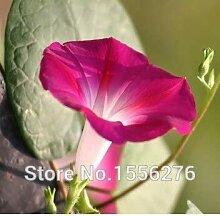 Go Garden 50pcs Fr Echt Morning Glory rpflanzen