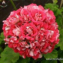 Go Garden 50pcs Riesige rote Big Blüten n