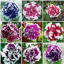 Go Garden Bonsai Petunia Garten Bonsai Mond