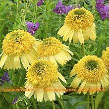 Go Garden Bright Yellow Echinacea purpurea