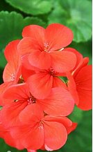 Go Garden Echt 10pcs Geranie, Pelargonium, Zonal