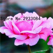 Go Garden Eine gemeinsame Garten Weiße Rosen