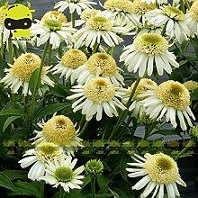 Go Garden Erbstück & # 39; White Velvet & # 39;