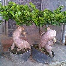 Go Garden Ginsend Ficus Samen Luftreinigung Bonsai