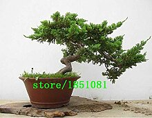 Go Garden Hot Sale Einzigartige Cypress Tree Seeds