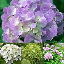 Go Garden Hydrangea Samen: 50Pcs Hydrangea