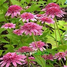 Go Garden Prairie Sonnenhut Blume 100pcs Samen