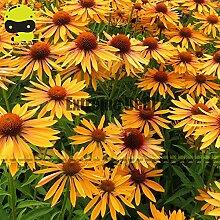 Go Garden Rare & # 39; Big Kahuna & # 39;