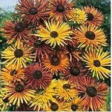 Go Garden Seltene Blume, 100pcs Rudbeckia hirta