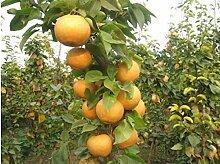 Go Garden Topfspätherbst Gelbgold Birne