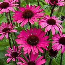 Go Garden Type7: 50 Echinacea purpurea Samen