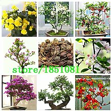 Go Garden Variety komplette Einzigartige Begonia