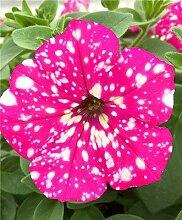 Go Garden Züchtungen 500 PC/bag Amerika Petunia