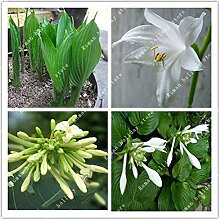 Go Garden ZLKING 20 PC Hosta plantaginea Fragrant