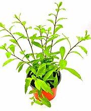 Goji Beere Lycium barbarum Obst Pflanze 2stk.