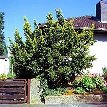 Gold Eibe Elegantissima 25-30cm - Taxus baccata