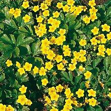 Golderdbeere - Waldsteinia ternata - gelb blühende Bodendeckerpflanze im 9 cm Topf, frisch aus unserer Gärtnerei - Pflanzen-Kölle Gartenstaude