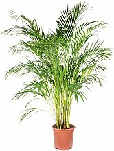 Goldfruchtpalme - Areca Dypsis Lutescens - Höhe