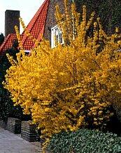 Goldglöckchen (Forsythia) Strauch gelb blühend.