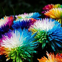 good01 10 Stücke Regenbogen Chrysantheme