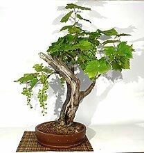 Grape Vine bonsai tree (23)