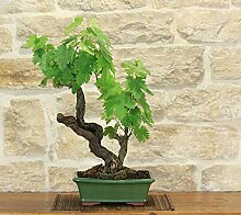 Grape Vine bonsai tree (56)