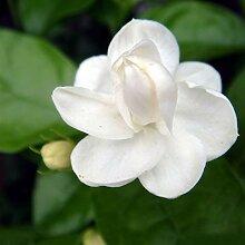 Greatlizard 100 Stück White Jasmine Seeds Bee