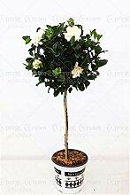 Green Seeds Co. 10 teile/beutel Jasmin bonsai
