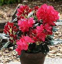 Großblumige Rhododendron Anna Rose Whitney