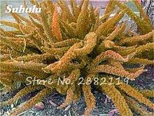Großer Verkauf ! 60 PC Foxtail Samen, Foxtail Ferns Bonsai Perennial Flowers Natur Wachstum Zierpflanze Grassamen für Garten 3