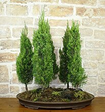 Grove Cypress bonsai tree (5)