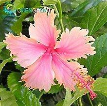 Grün: 100 Riesen Hibiskus Blumensamen indoor Mix